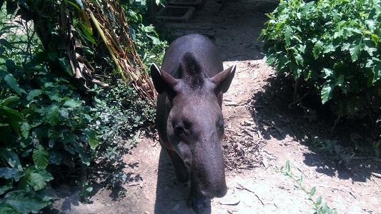 Théo / Tapir