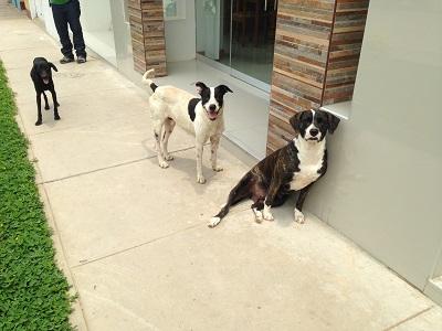 c-chiens oeruviens nico 3